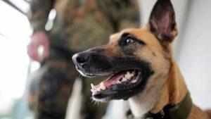 """Cães farejadores detectam coronavírus com """"94% de precisão"""""""